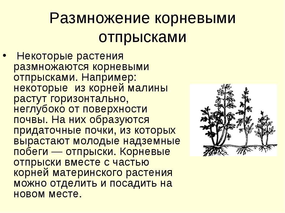 Размножение корневыми отпрысками Некоторые растения размножаются корневыми от...
