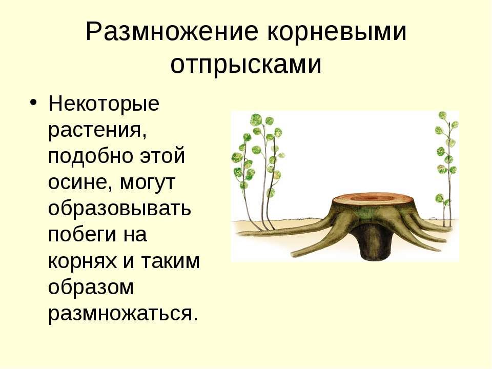 Размножение корневыми отпрысками Некоторые растения, подобно этой осине, могу...