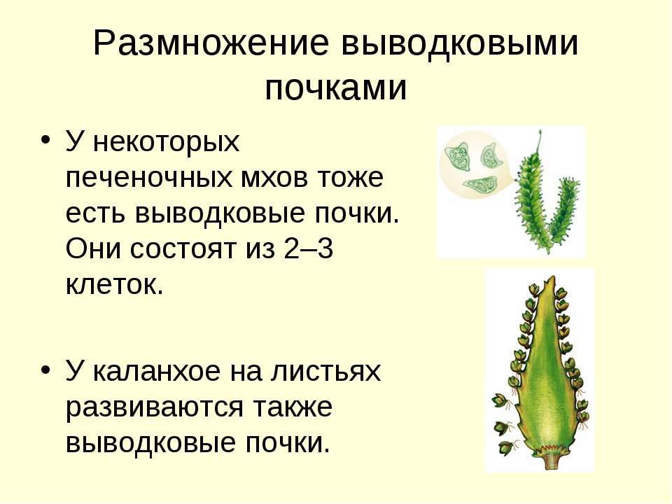 Размножение выводковыми почками У некоторых печеночных мхов тоже есть выводко...