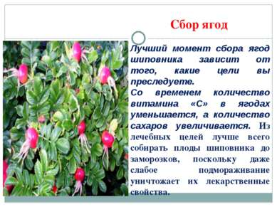 Сбор ягод Лучший момент сбора ягод шиповника зависит от того, какие цели вы п...
