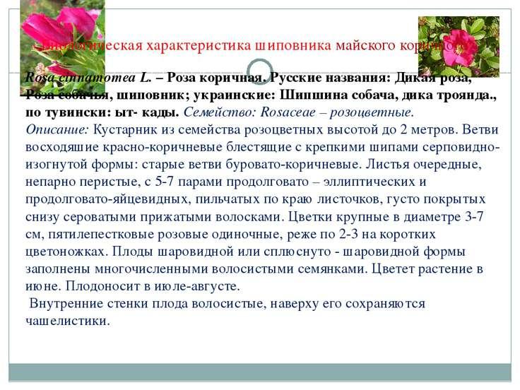 Биологическая характеристика шиповника майского коричного Rosa cinnamomea L. ...