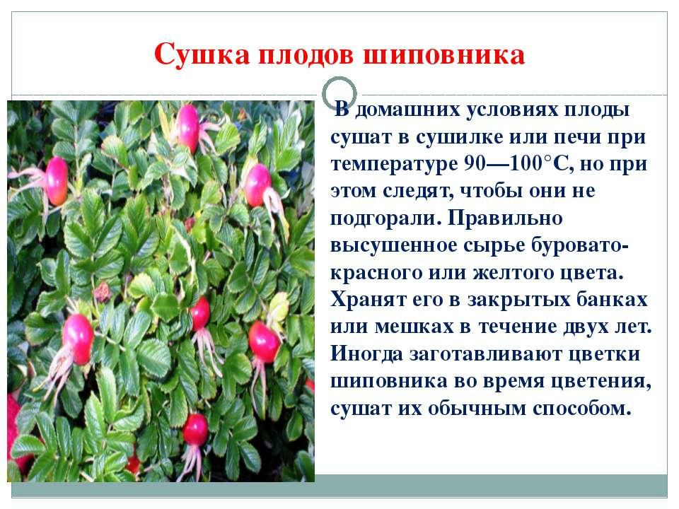 В домашних условиях плоды сушат в сушилке или печи при температуре 90—100°С, ...