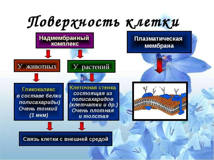 Поверхность клетки Надмембранный комплекс У животных У растений Клеточная сте...