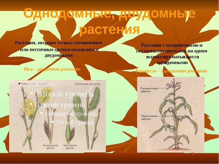 Однодомные, двудомные растения Растения, несущие только тычиночные или пестич...