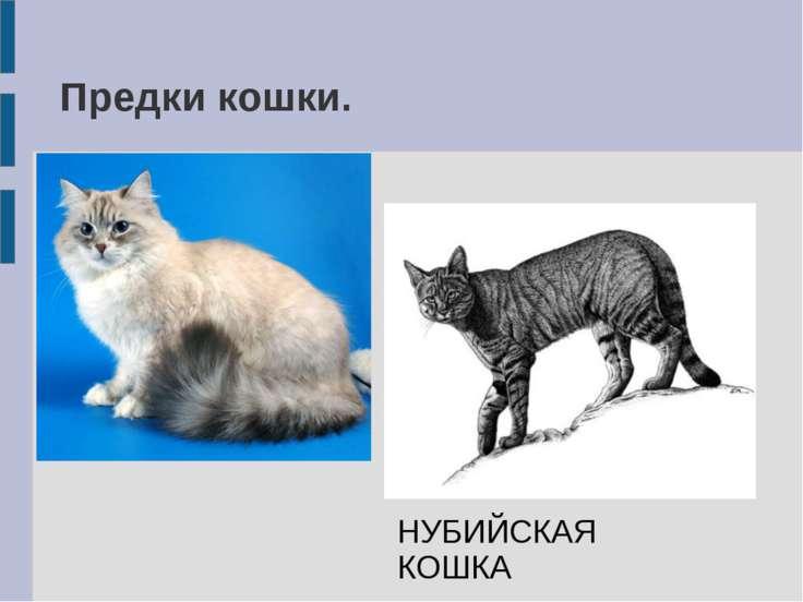 Предки кошки. НУБИЙСКАЯ КОШКА