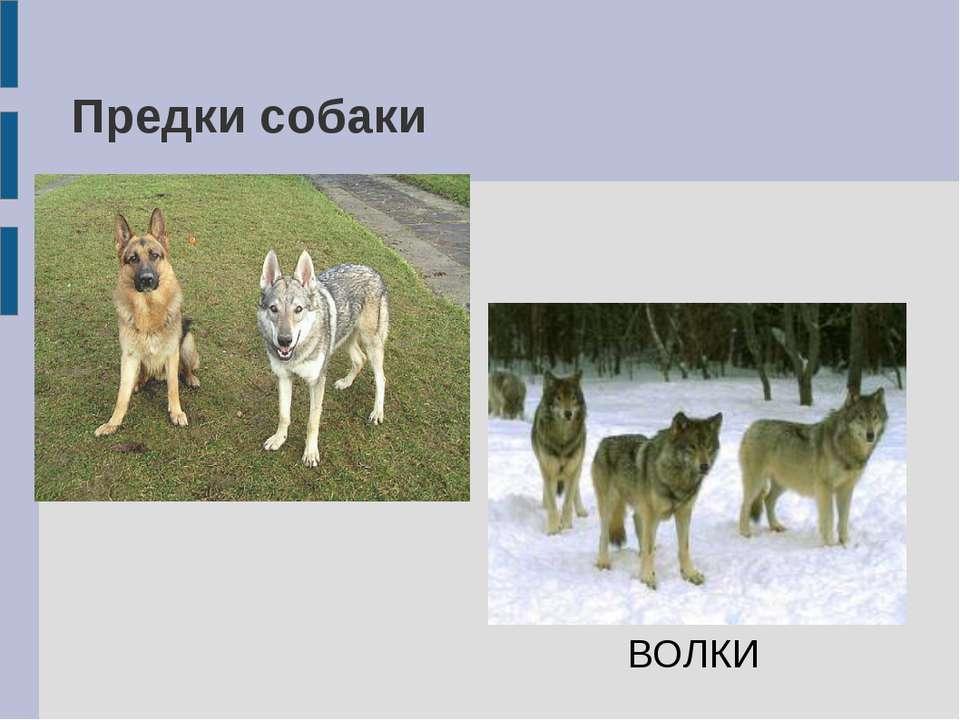 Предки собаки ВОЛКИ
