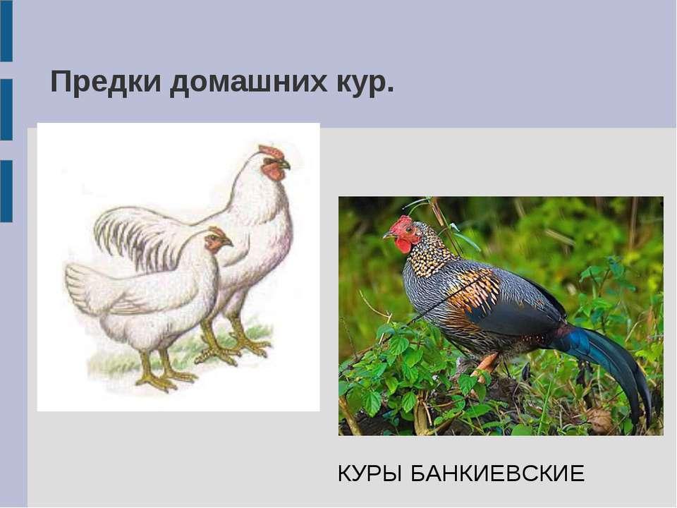Предки домашних кур. КУРЫ БАНКИЕВСКИЕ