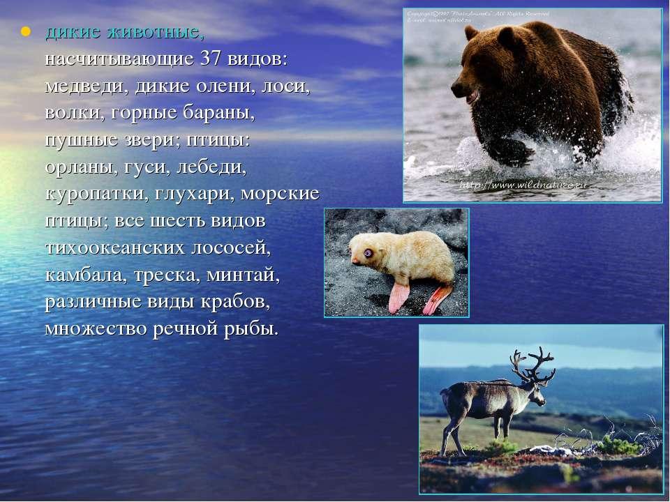 дикие животные, насчитывающие 37 видов: медведи, дикие олени, лоси, волки, го...