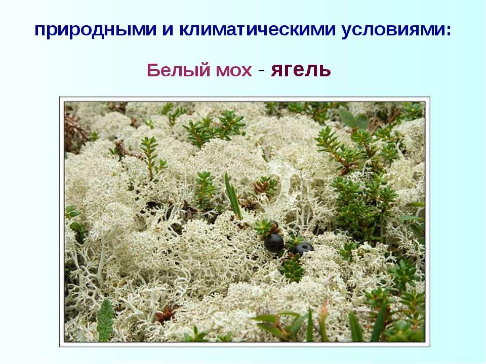 природными и климатическими условиями: Белый мох - ягель
