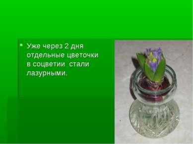 Уже через 2 дня отдельные цветочки в соцветии стали лазурными.