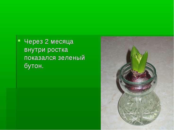 Через 2 месяца внутри ростка показался зеленый бутон.