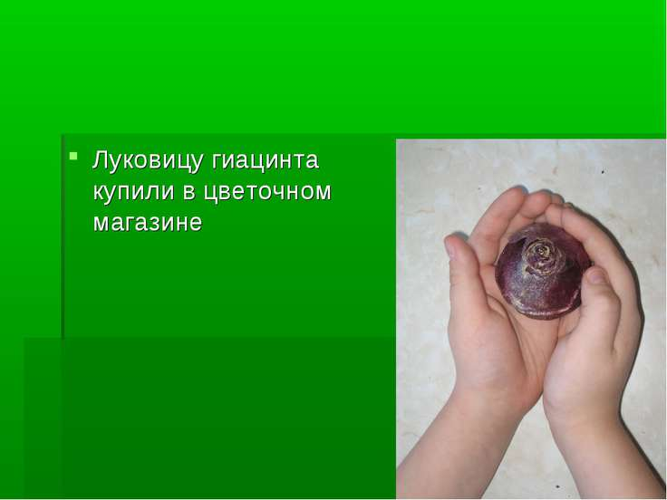 Луковицу гиацинта купили в цветочном магазине