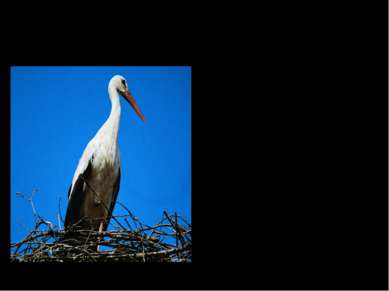 Птица – легенда. Много легенд сложено людьми об аисте, и во всех – он символ ...