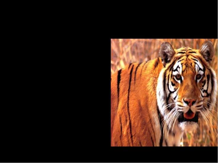 Самая большая кошка Самая большая кошка – тигр. Он достигают в длину 3,5 м. А...