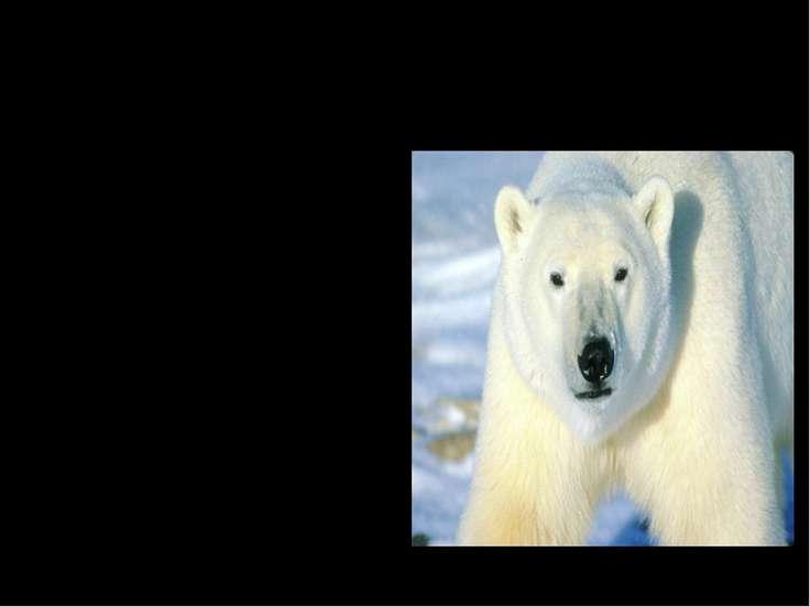 Мохнатые тяжеловесы. Самый большой из медведей - белый полярный медведь. Длин...