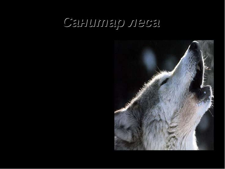 Санитар леса Волк – хищник из семейства собачьих. Люди долго и упорно боролис...