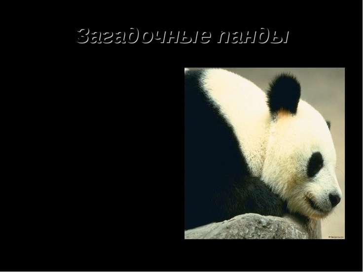 Загадочные панды Обнаружили их в 1868 году на западе Катая Жан Пьер Армен Дав...
