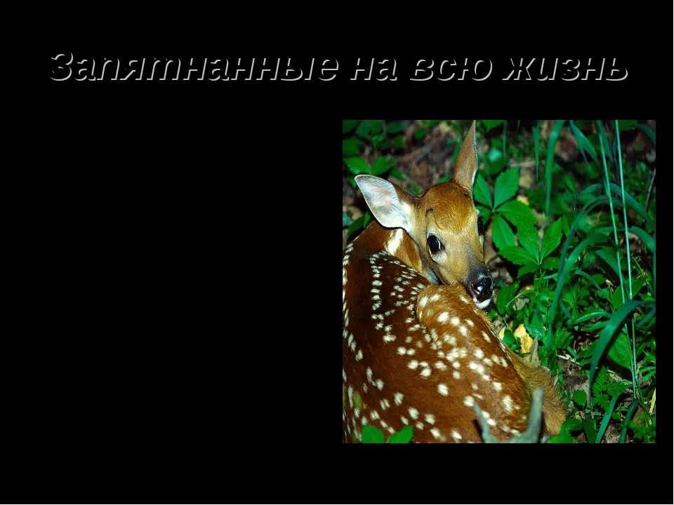 Запятнанные на всю жизнь Почти все олени появляются на свет с пятнами на теле...