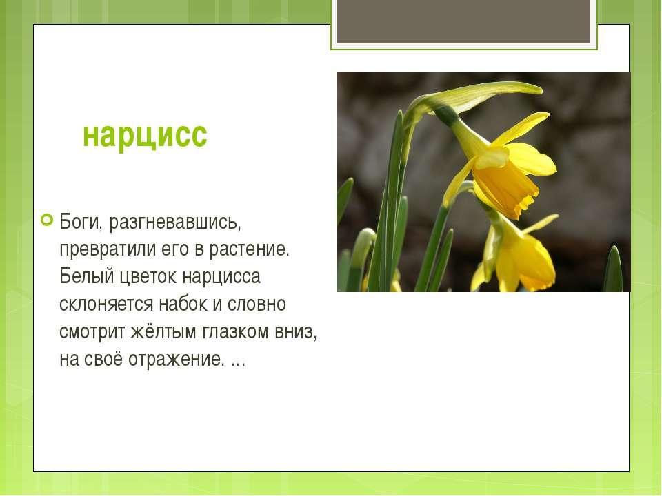 нарцисс Боги, разгневавшись, превратили его в растение. Белый цветок нарцисса...