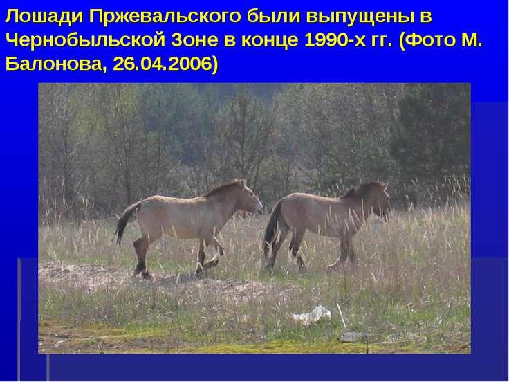 Лошади Пржевальского были выпущены в Чернобыльской Зоне в конце 1990-х гг. (Ф...