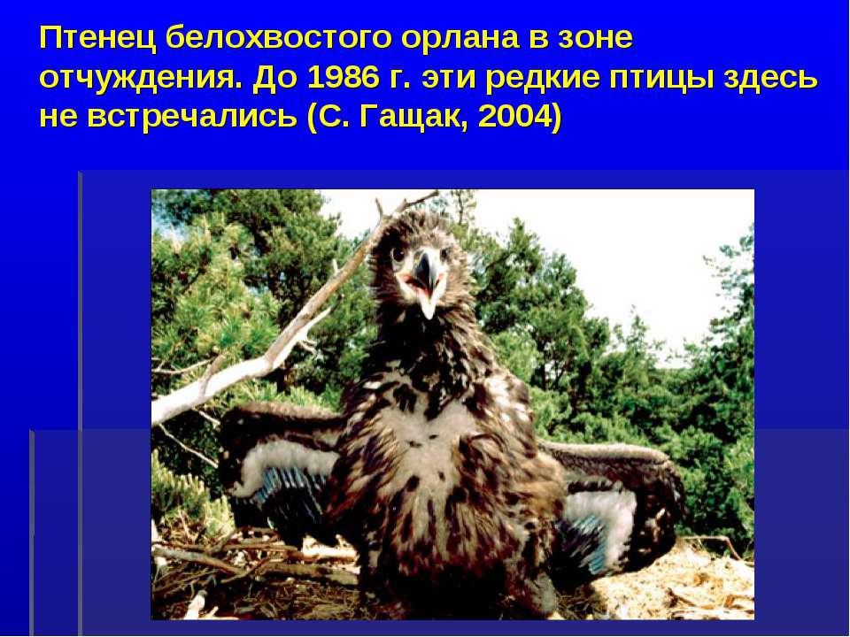 Птенец белохвостого орлана в зоне отчуждения. До 1986 г. эти редкие птицы зде...