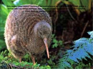 Все виды киви имеют сильные четырёхпалые ноги и длинный узкийклюв с ноздрями...