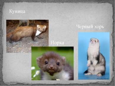 Куница Норка Черный хорь