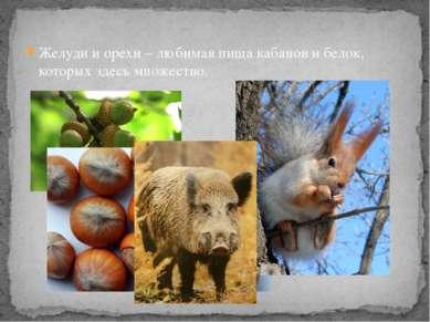 Желуди и орехи – любимая пища кабанов и белок, которых здесь множество.