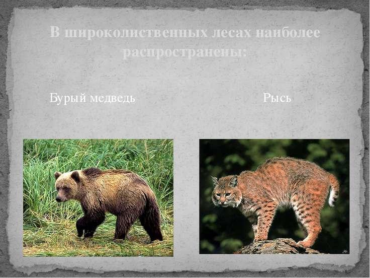 Бурый медведь В широколиственных лесах наиболее распространены: Рысь