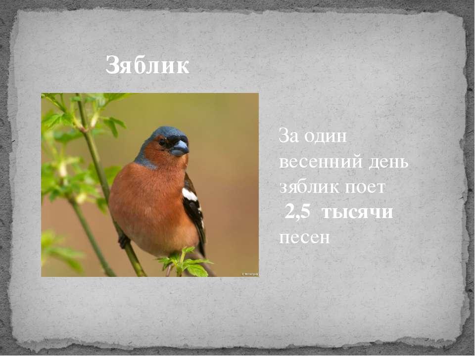 Зяблик За один весенний день зяблик поет 2,5 тысячи песен