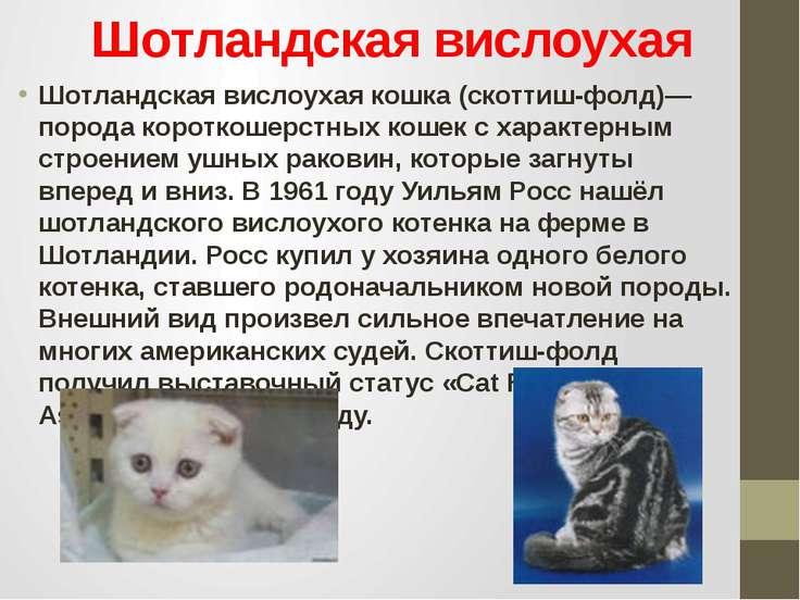 Шотландская вислоухая Шотландская вислоухая кошка (скоттиш-фолд)— порода коро...
