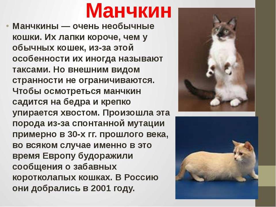 Манчкин Манчкины — очень необычные кошки. Их лапки короче, чем у обычных коше...
