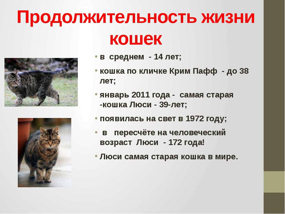 Продолжительность жизни кошек в среднем - 14 лет; кошка по кличке Крим Пафф -...