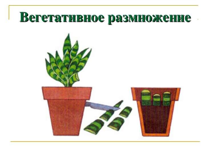 Вегетативное размножение