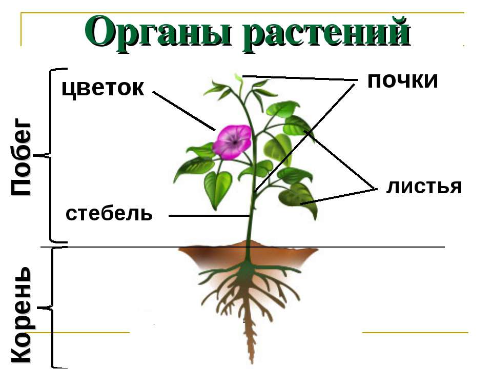 Органы растений Побег Корень