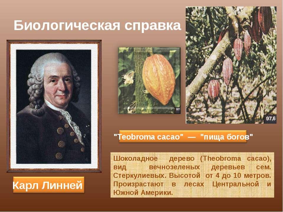 Биологическая справка Шоколадное дерево (Theobroma cacao), вид вечнозеленых д...