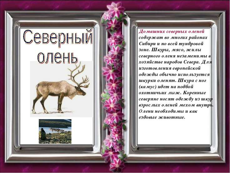 Домашних северных оленей содержат во многих районах Сибири и по всей тундрово...