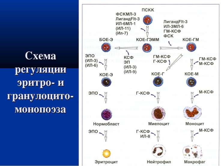 Схема регуляции эритро- и гранулоцито-монопоэза