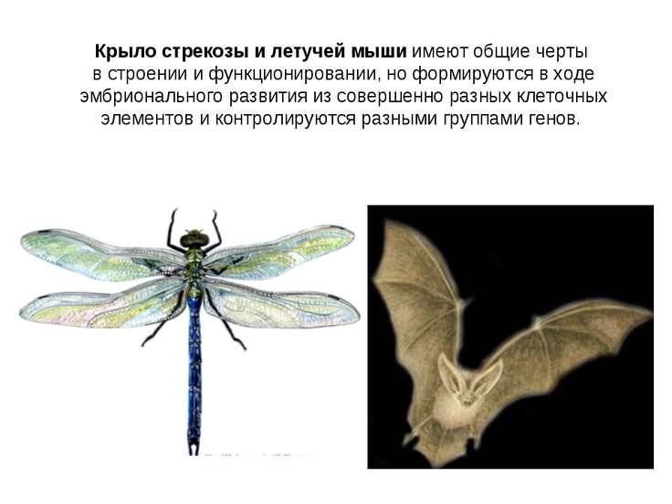 Крыло стрекозы и летучей мыши имеют общие черты в строении и функционировании...
