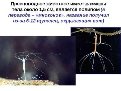 Пресноводное животное имеет размеры тела около 1,5 см, является полипом (в пе...