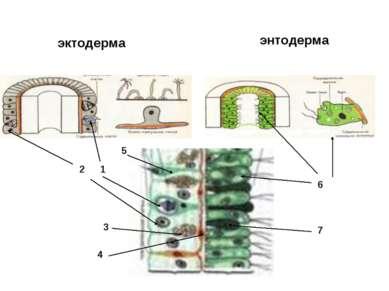 эктодерма энтодерма 1 2 3 4 5 6 7