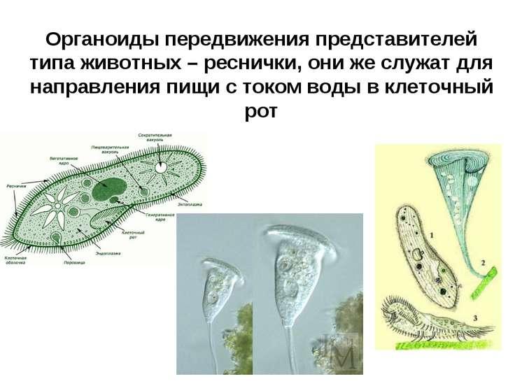Органоиды передвижения представителей типа животных – реснички, они же служат...
