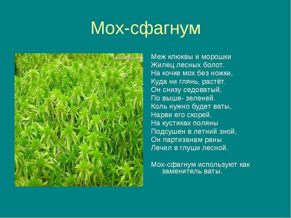 Мох-сфагнум Меж клюквы и морошки Жилец лесных болот. На кочке мох без ножки, ...