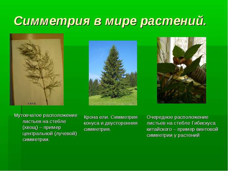 Симметрия в мире растений. Мутовчатое расположение листьев на стебле (хвощ) –...