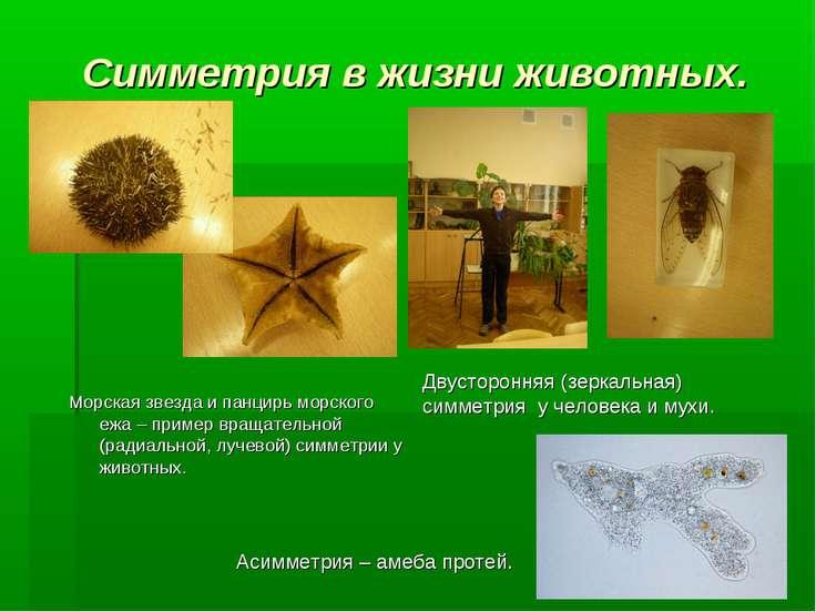 Симметрия в жизни животных. Морская звезда и панцирь морского ежа – пример вр...