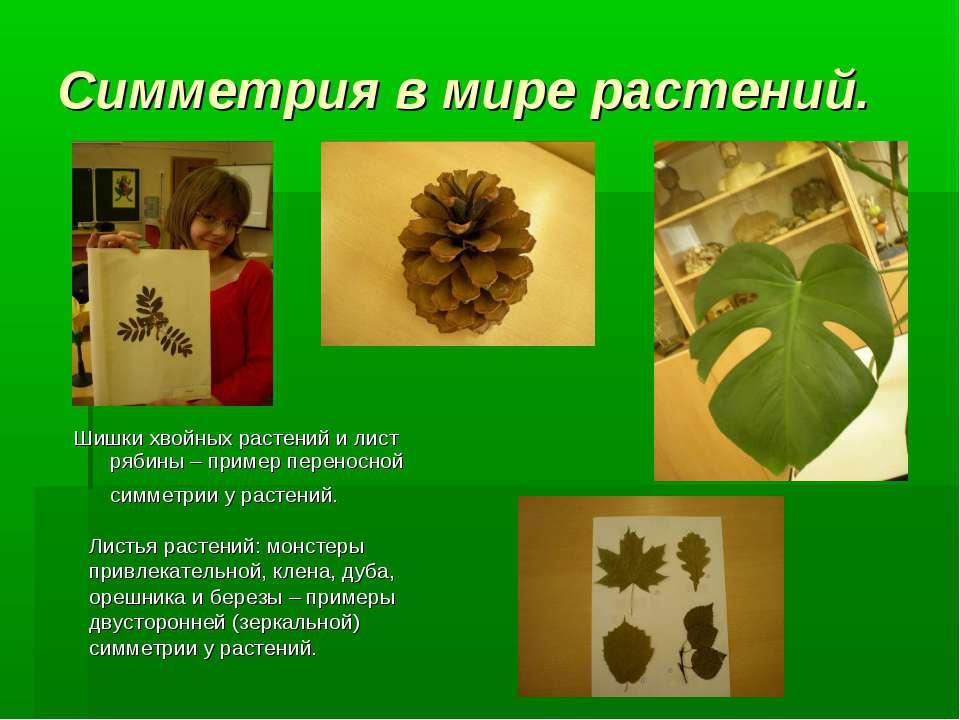Симметрия в мире растений. Шишки хвойных растений и лист рябины – пример пере...