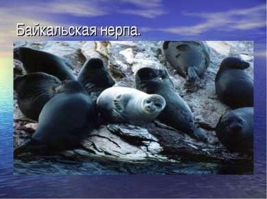 Байкальская нерпа.
