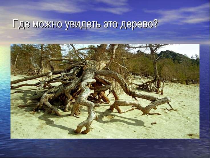 Где можно увидеть это дерево?