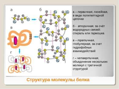 Структура молекулы белка а – первичная, линейная, в виде полипептидной цепочк...