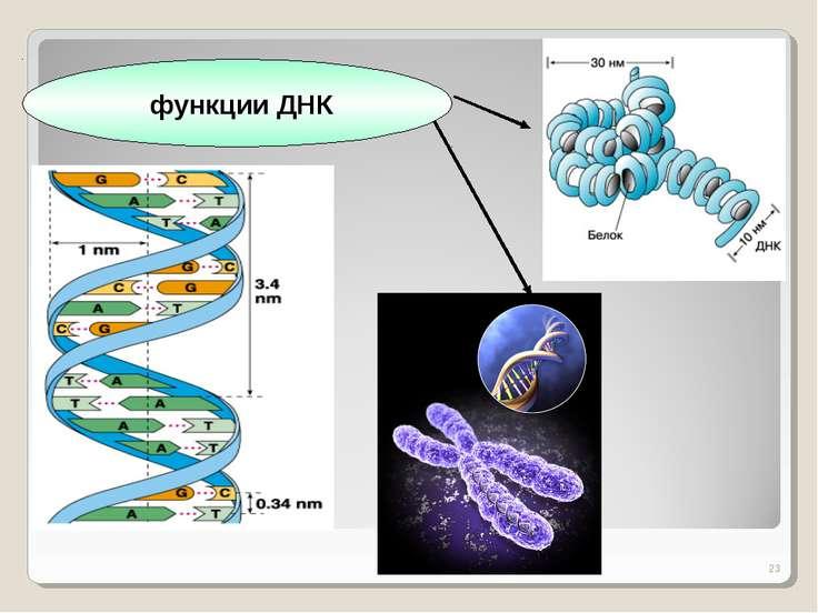 * функции ДНК